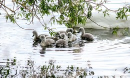 Acht niedliche Schwanenbabies am Aueweiher frisch geschlüpft