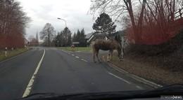 Ausreißer auf der Straße: Pferd ist wohlbehalten wieder im Stall